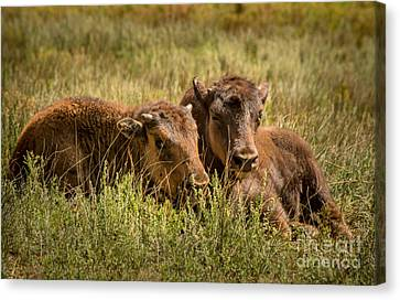Canvas Print featuring the photograph Buffalo Babes by The Forests Edge Photography - Diane Sandoval