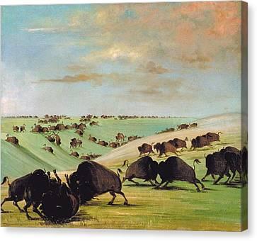 Buffalo Bulls Fighting In Running Season Canvas Print