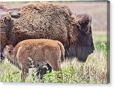 Buffalo Calf And Proud Mom Canvas Print