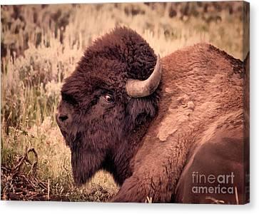 Canvas Print featuring the photograph Buffalo Eye On You by Janice Rae Pariza
