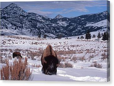 Canvas Print featuring the photograph Buffalo In The Rockies by Edward R Wisell