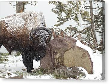 Buffalo In The Snow Canvas Print