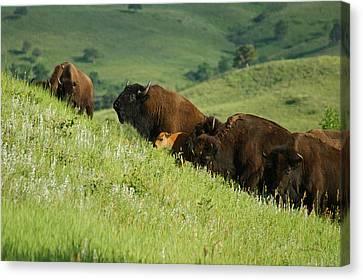 Buffalo On Hillside Canvas Print