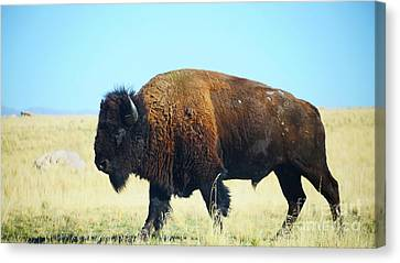 Buffalo On The Range Canvas Print