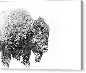 Buffalo Portrait Black And White Canvas Print