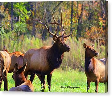 Buffalo River Elk Canvas Print