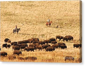 Buffalo Roundup Canvas Print by Dennis Hammer