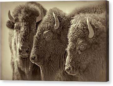 Canvas Print featuring the photograph Trio American Bison Sepia Brown by Jennie Marie Schell