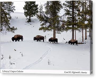Canvas Print featuring the photograph Buffaloes In Yellowstone National Park by Carol M Highsmith