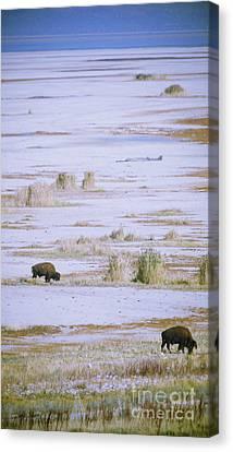 Buffalos On Salt Lake Canvas Print