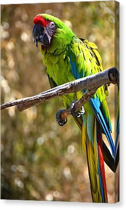 Buffon's Macaw Canvas Print by Mike Martin