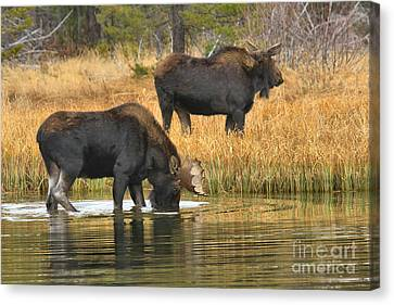 Bull And Cow Canvas Print by Adam Jewell