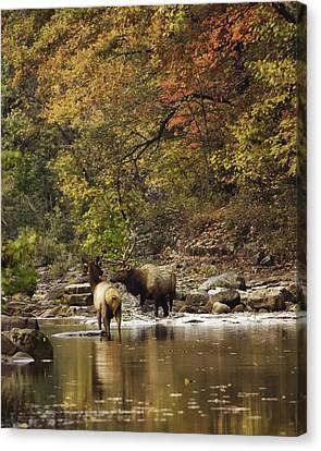 Bull And Cow Elk In Buffalo River Crossing Canvas Print by Michael Dougherty