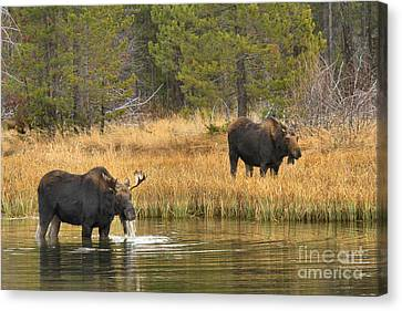 Bull And Cow Moose Canvas Print by Adam Jewell