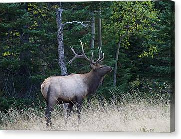 Canvas Print featuring the photograph Bull Elk 2 by Aaron Spong