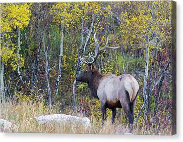 Canvas Print featuring the photograph Bull Elk by Aaron Spong
