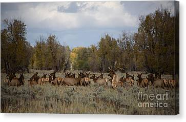 Bull Elk And Harem Canvas Print by Sandy Molinaro