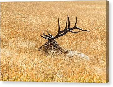 Elk Canvas Print - Bull Elk Bedded Down by James BO  Insogna