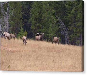 Bull Elk Bugling At Yellowstone Canvas Print by David Wilkinson