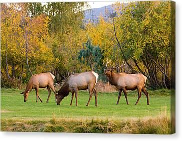 Bull Elk  Bugling With Cow Elks - Rutting Season Canvas Print