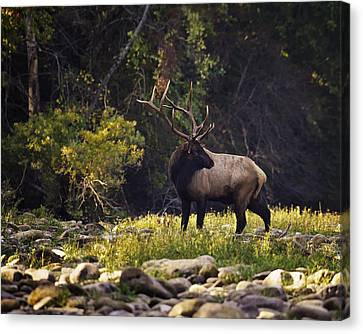Bull Elk Checking For Competition Canvas Print by Michael Dougherty