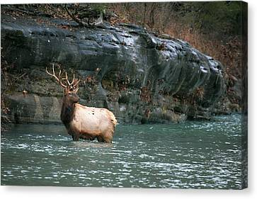 Canvas Print featuring the photograph Bull Elk Crossing The Buffalo River by Michael Dougherty