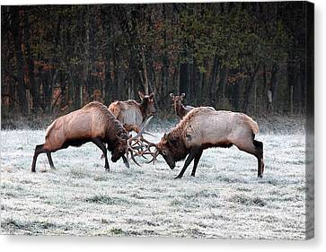 Bull Elk Fighting In Boxley Valley Canvas Print by Michael Dougherty