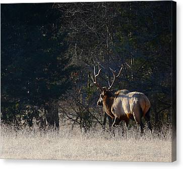Canvas Print featuring the photograph Bull Elk In Frost by Michael Dougherty