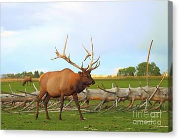 Giselaschneider Canvas Print - Bull Elk ... Montana Art Photo by GiselaSchneider MontanaArtist