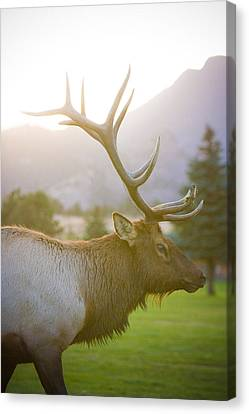 Bull Elk Profile Canvas Print by James BO  Insogna