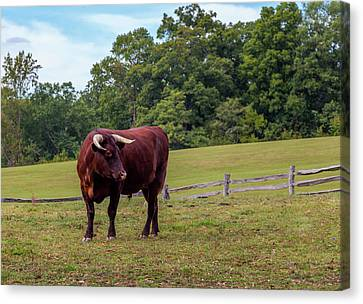 Bull In Field Canvas Print