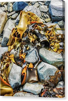 Bull Kelp On Blue Rocks Canvas Print by Lexa Harpell