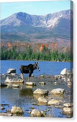 Bull Moose Below Mount Katahdin Canvas Print by John Burk