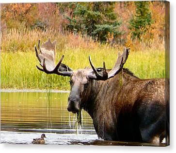 Bull Moose In Grayling Lake Canvas Print