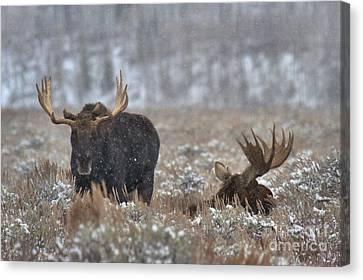 Bull Moose Winter Wandering Canvas Print by Adam Jewell