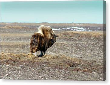 Bull Musk Ox Canvas Print by Anthony Jones