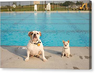 Sports Canvas Print - Bulldog And Chihuahua By The Pool by Gillham Studios