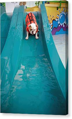 Bulldog Going Down Waterslide Canvas Print
