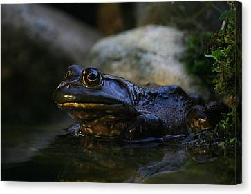 Bullfrog 1 Canvas Print