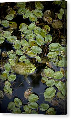 Bullfrog No. 2 - Mystic Connecticut Canvas Print by Henry Krauzyk