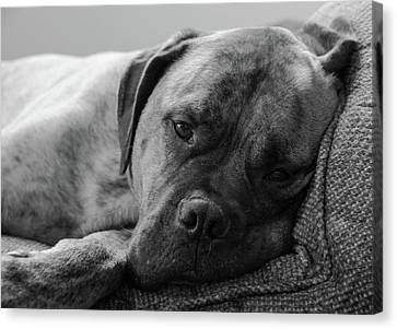 Bullmastiff B/w Canvas Print by Jennifer Ancker