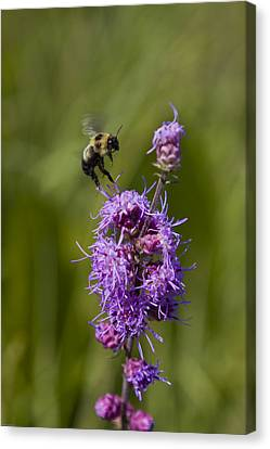 Canvas Print featuring the photograph Bumble Bee Dance 8210 by Peter Skiba