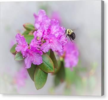 Bumble Bee Canvas Print by Jakub Sisak