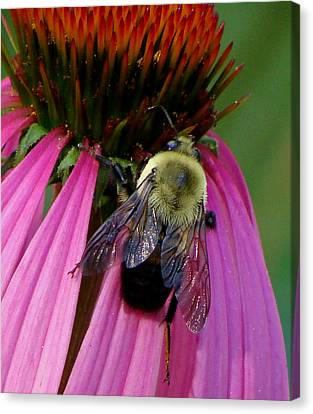 Bumble Bee Macro Canvas Print by Martin Morehead