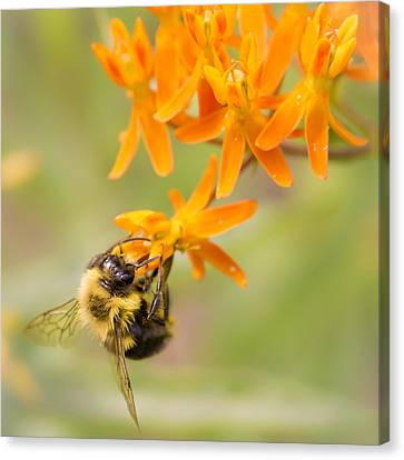 Bumble Bee On Butterfly Weed Canvas Print by Jim Hughes