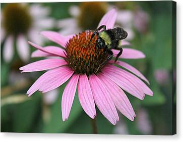 Bumble Bee On Pink Cone Flower Canvas Print