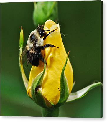 Bumble Bee On Rose  Canvas Print by Michael Peychich