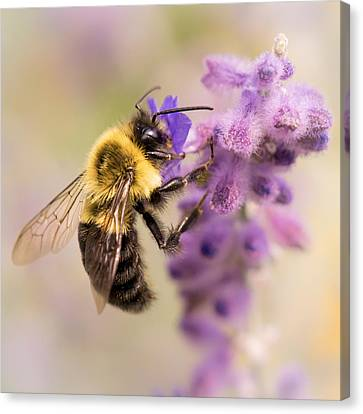 Bumble Bee On Russian Sage Canvas Print by Jim Hughes