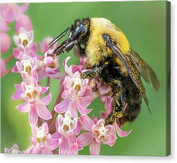 Bumble Bee On Milkweed Canvas Print by Jim Hughes