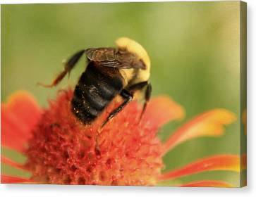 Canvas Print featuring the photograph Bumblebee by Chris Berry